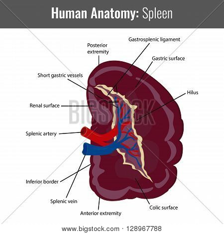 Human Spleen detailed anatomy. Vector Medical illustration.