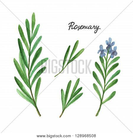 Watercolor branches and leaves of rosemary. Eco products isolated on white background. Watercolor illustration of culinary herbs and spices to your menu.
