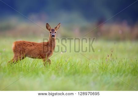 Young roe deer in a clearing in the wild