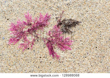 Red seaweed or Callophyllis laciniata as found on the beaches of Scotland, Isle of Lewis and Harris