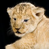lion cub in front of a black background. all my pictures are taken in a photo studio. poster