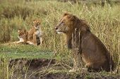 Adult lion sitting and two lionesses in the background, side view poster