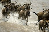 Wildebeest running in river in the Serengeti, Tanzania, Africa poster