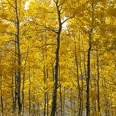 Aspen trees in yellow fall color in Wyoming.