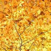 Close-up of American Beech tree branches covered with bright yellow Fall leaves.
