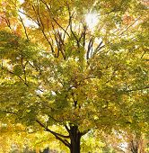 Maple tree in autumn with colorful leaves.