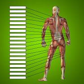 3D illustration of a concept or conceptual male or human anatomy, a man with muscles and textbox on green gradient background  poster