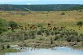 a typical african scene with an impala antelope herd at the water hole in a game reserve in south africa poster