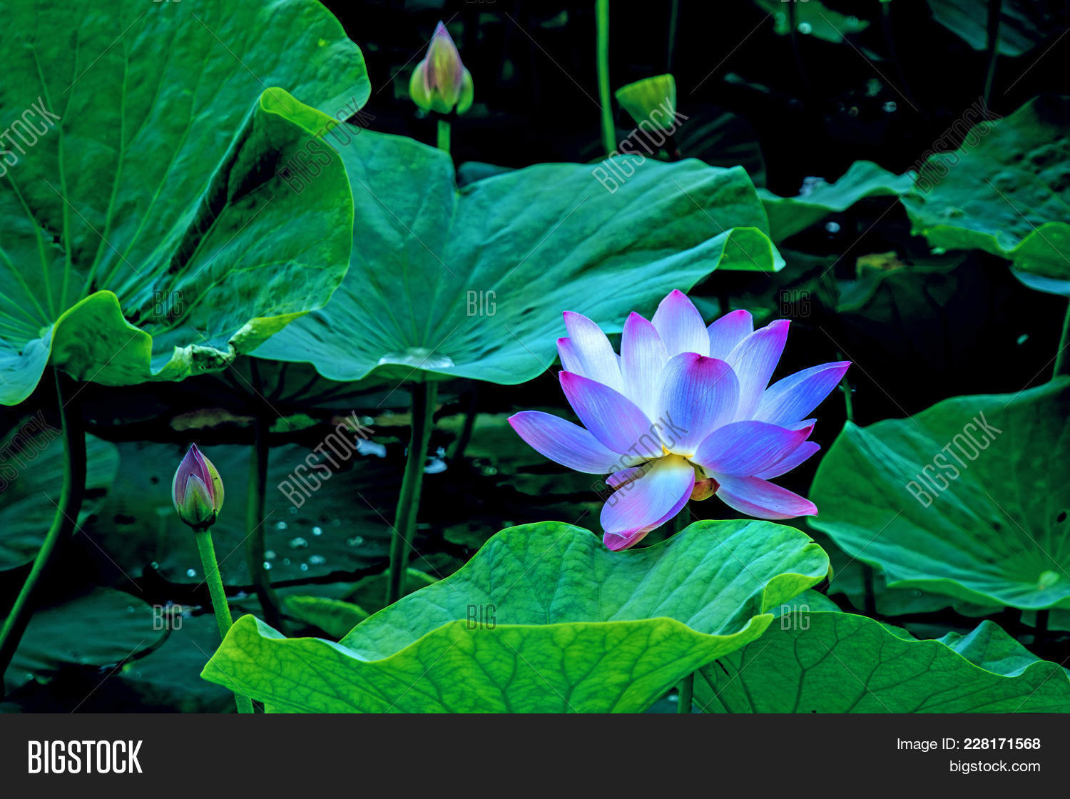Large lotus flowers bright pink image photo bigstock large lotus flowers bright pink buds of lotus flower floating in the lake close mightylinksfo Image collections