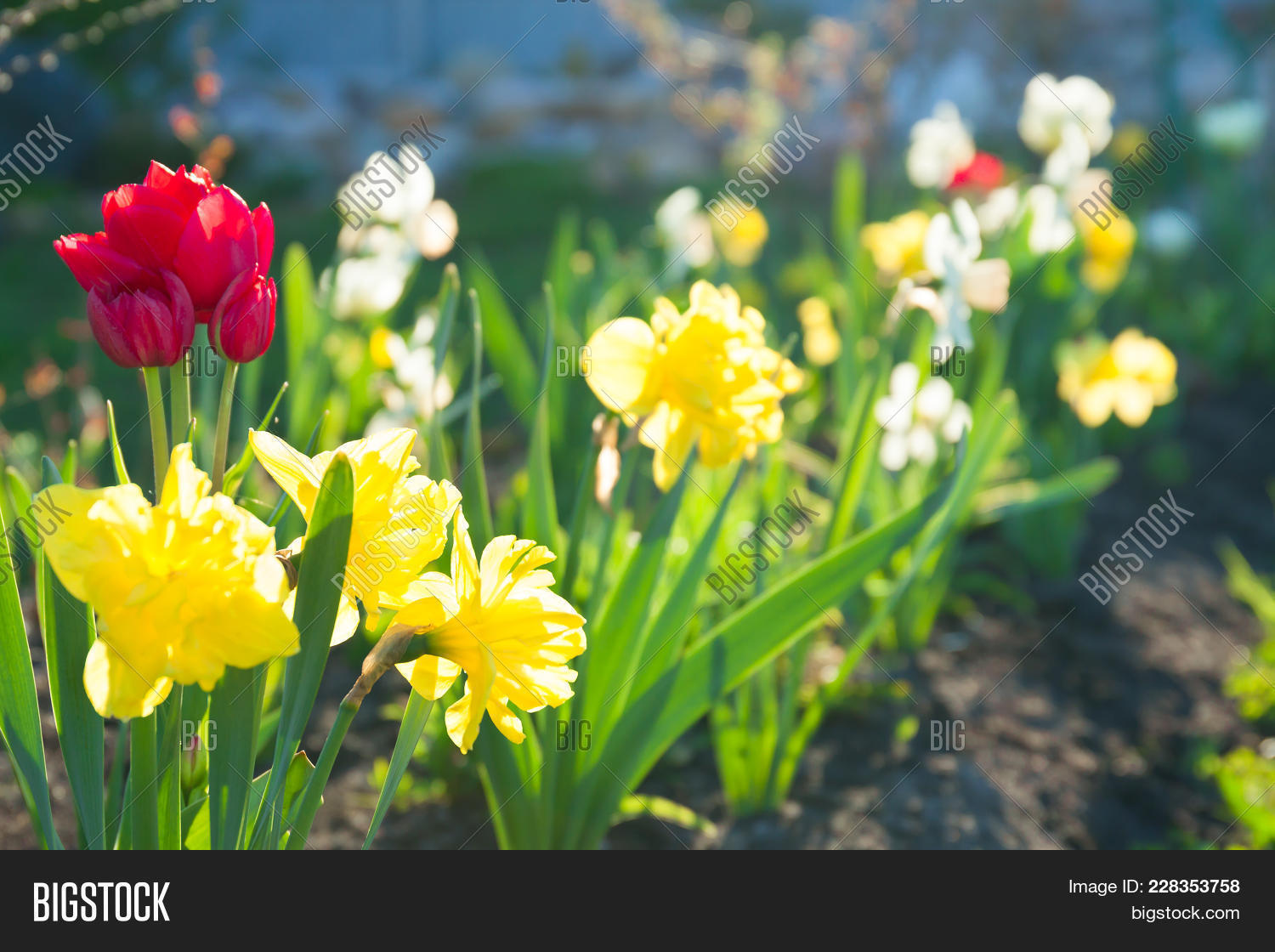 Spring flowers image photo free trial bigstock spring flowers daffodils and tulips flowering in garden on a flower bed spring landscape with mightylinksfo