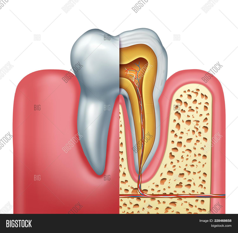 Human Tooth Anatomy Image & Photo (Free Trial) | Bigstock