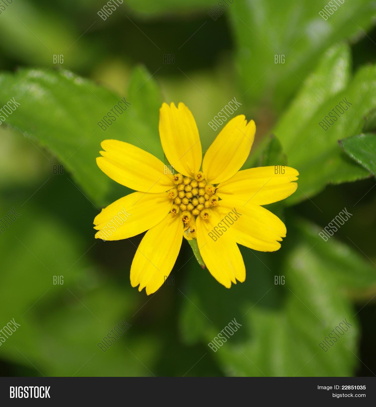 7 petal flower image photo free trial bigstock 7 petal flower mightylinksfo
