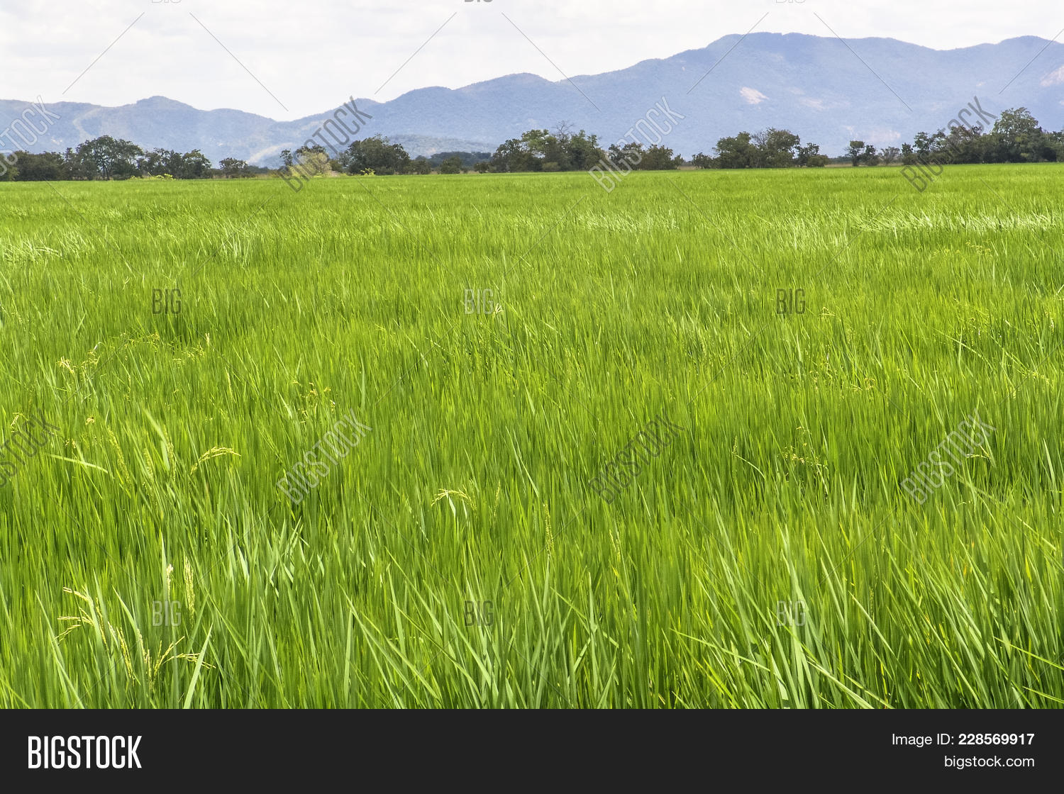 Farm rice field roraima powerpoint template farm rice field agricultural powerpoint template 60 slides toneelgroepblik