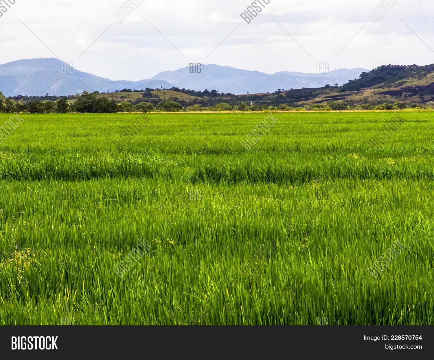 Agricultural rice field in a farm powerpoint template agricultural y toneelgroepblik Gallery