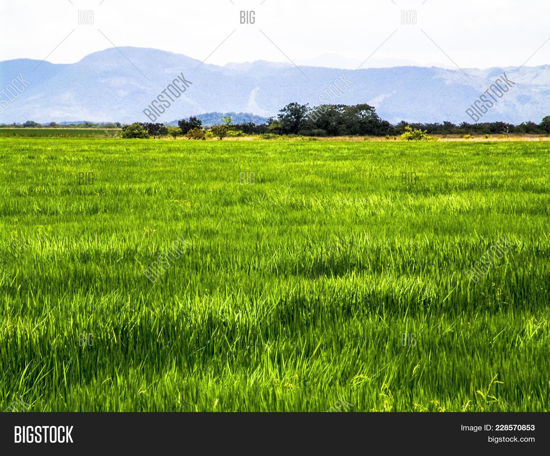 rice field in a farm powerpoint template rice field in a farm
