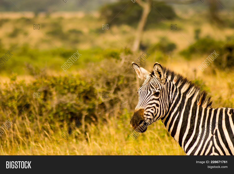 Zebra in the savannah powerpoint template powerpoint template environment powerpoint template 60 slides toneelgroepblik Images