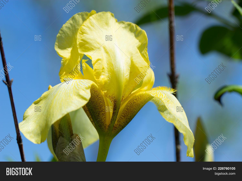 Yellow spring flowers image photo free trial bigstock yellow spring flowers in a garden iris flower flower yellow iris closeup outdoors izmirmasajfo