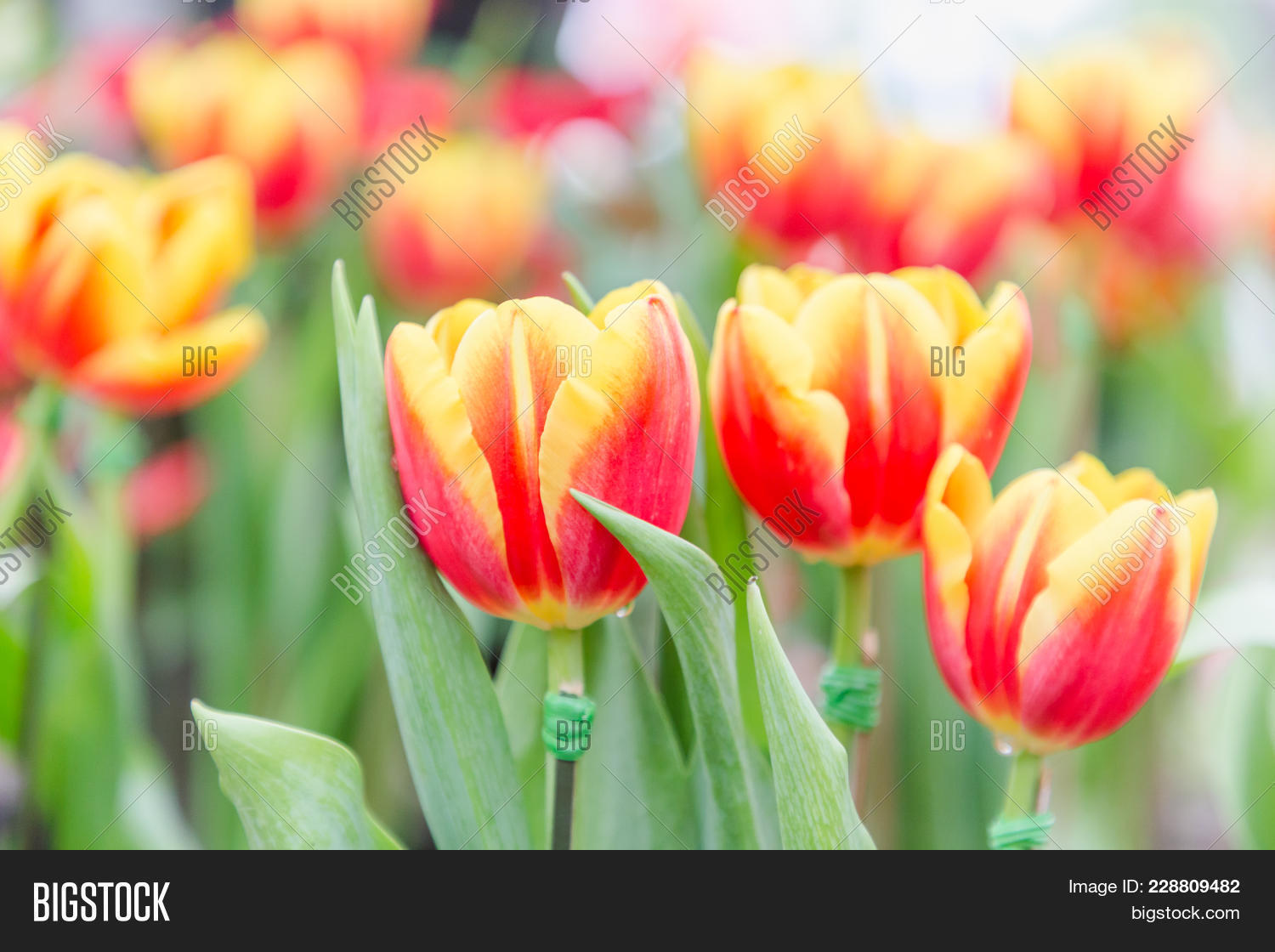 Tulip flower image photo free trial bigstock tulip flower beautiful tulips flower in tulip field at winter or spring day colorful izmirmasajfo