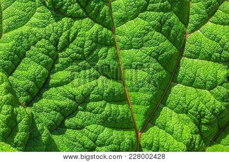 Texture Of Burdock Leaf. Floral Background. Fresh Green Burdock Leaf Texture Close Up. Natural Folia