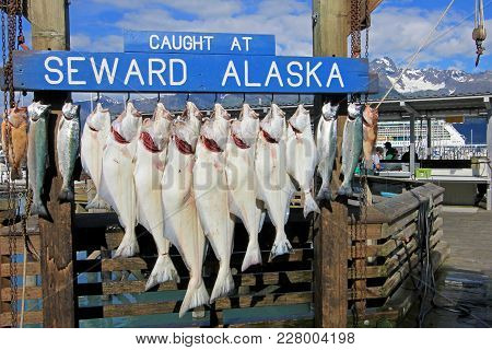Seward, Alaska, Usa, July 18, 2014: The Halibuts Caught At Seward Alaska Were Hook For Weighing And