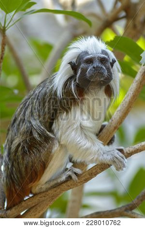 The Cotton-top Tamarin Is A Small New World Monkey Weighing Less Than 0.5 Kg. One Of The Smallest Pr