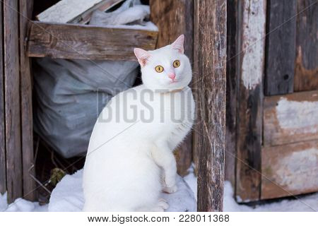 White Beautiful Cat Sitting Near A Wooden Shed In Winter