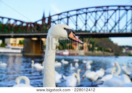Portrait White Swan Standing Proud Against Blurry Urban Background On West Side Of Vltava River Near