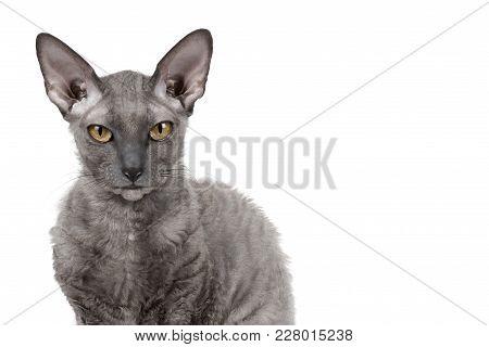 Oriental Shorthair Cat Sitting And Watching, Gray Animal Pet, Domestic Kitty, Purebred Cornish Rex.