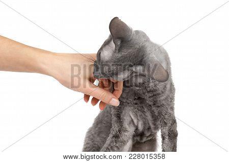 Oriental Shorthair Cat Sitting And Biting Hand, Gray Animal Pet, Domestic Kitty, Purebred Cornish Re