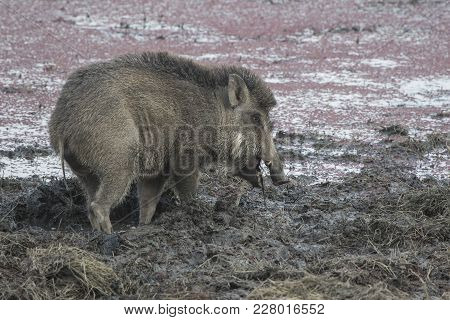 Indian Boar That Feeds On The Shore Of A Drying Lake In Central India
