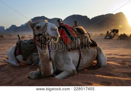 Camels Are Having Rest During The Sunset, Wadi Rum, Jordan