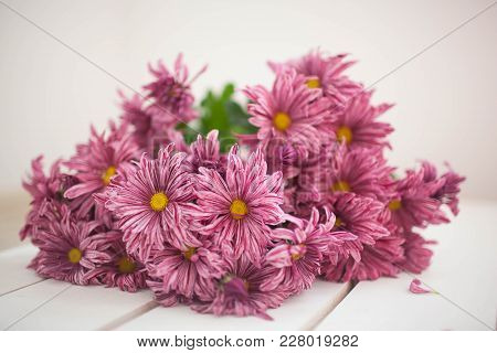 Chrysanthemum Flowers As A Background Close Up.pink Chrysanthemums In Autumn.chrysanthemum Wallpaper