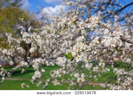 Flowering Branch Of Cherry Against The Sky Background.