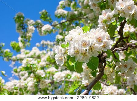 Flowering Branch Of Pear Against The Sky Background.