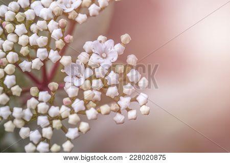Tender White Viburnum Tinus Flowers Blooming Under The Sun. The Flower Is Native In The Mediterranea