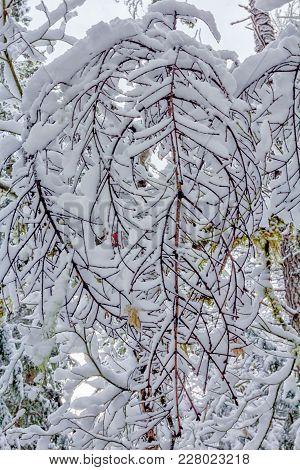 Snow Covered Tree Limbs, Winter 2018, Washington, Usa
