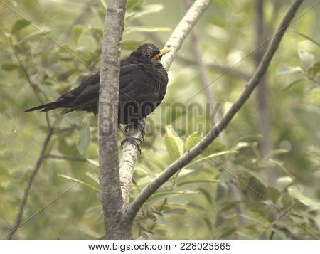 Fat Blackbird On A Branch In A Bush / Tree