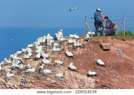 Helgoland, Germany - May 20, 2017: Man And Woman Taking Pictures Of Brooding Northern Gannets At Red