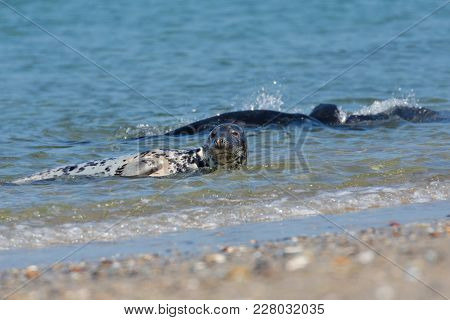 Grey Seals Playing In The Water Near The Beach Of Helgoland, Germany