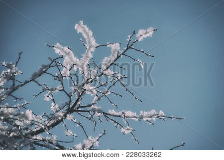 Hoarfrost On Snow-covered Branches Of Trees, Winter Frosty Clear Day.