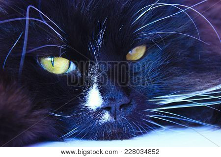 Muzzle Of Cat. Close-up Of Muzzle Of Black Cat. Muzzle Black Cat. Lazy Pet