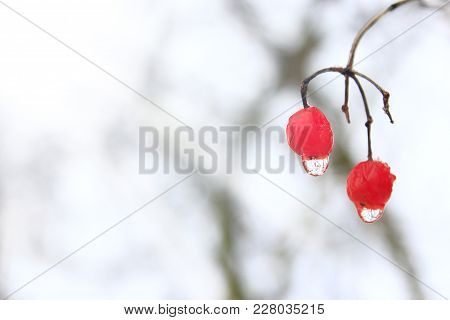 Frozen Water Droplets Hanging From Berries Of Viburnum. Snowball Tree, Guelder-rose, Viburnum And Sp
