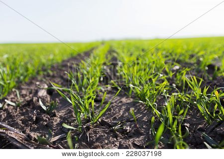 Young Wheat Crop In A Field. Crops Of Winter Wheat. Rows Of Young Sprouts Of Wheat. Green Grass On T
