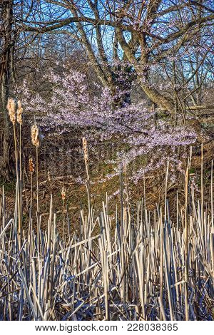 Dry Swamp Reeds And Cherry Blossoms Of Holmdel Park In New Jersey.