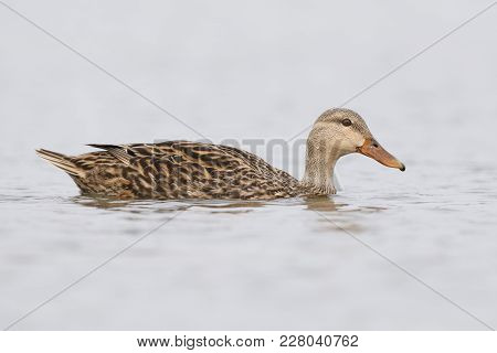 Female Mallard (anas Platyrhynchos) Swimming In A Lagoon - Pinellas County, Florida