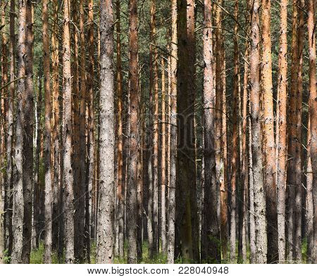 Lots Of Trees In Forest - Background. Poland.