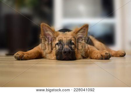 Young Dog Lies On The Floor, German Shepherd Portrait.