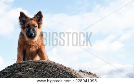 Young Dog Sitting On The Hay Bundle, German Shepherd Portrait.