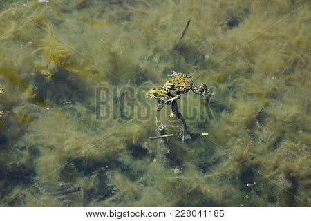 Two Green Frogs Swimming In Water With Algae.