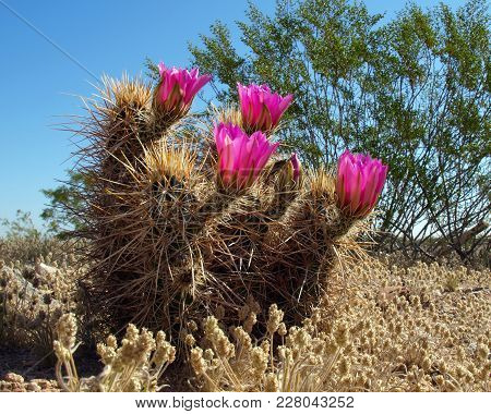 Flower Of The Hedge Hog Cactus